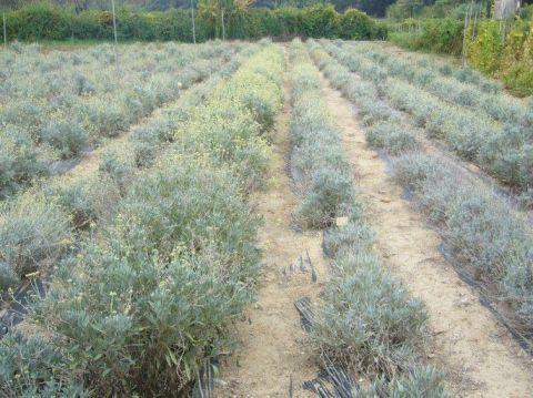 Implantation de parcelles de démonstration de culture de guayule (Parthenium argentatum) en Languedoc-Roussillon   (acronyme GUAYUL-LR)